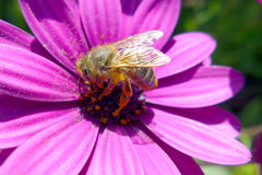 Bee on purple flower. Bee pollinates a bright purple flower royalty free stock images