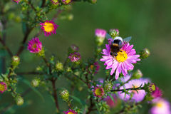 Bee on purple flower. Shallow depth of field Stock Photo