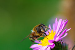 Bee on purple flower. Shallow depth of field Stock Photos