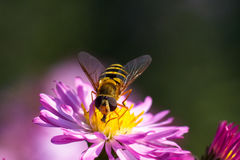 Bee on purple flower. Shallow depth of field Stock Images