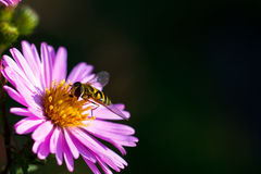 Bee on purple flower. Shallow depth of field Royalty Free Stock Photos