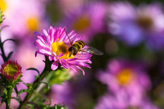 Bee on purple flower. Shallow depth of field Royalty Free Stock Photography