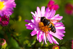 Bee on purple flower. Shallow depth of field Royalty Free Stock Image