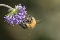 A bee clinging to a purple flower Stock Images