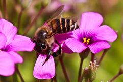 Bee and purple flower on spring. Bee and flower on flower garden Royalty Free Stock Images