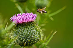 Bee and purple flower on spring. Bee and flower on flower garden Royalty Free Stock Photo