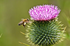 Bee and purple flower on spring. Bee and flower on flower garden Stock Image