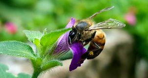 A bee on a purple flower royalty free stock photography