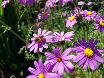Bee on purple flowers. A bee on purple flowers in a garden Stock Photos
