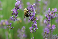 Bee with Purple Flowers. Bumblebee gathers nectar from stalks of purple flowers Royalty Free Stock Image