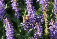 Bee on purple flowers Royalty Free Stock Photography