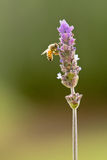 Bee on purple lavender Royalty Free Stock Images