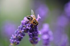 Bee on Purple Lavender Royalty Free Stock Photos