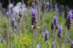 Bee on a purple lavender flower growing in a garden. Bee on Lavandula, commonly known as lavender. Detail of purple bracts and flowers, an aromatic, ornamental royalty free stock image