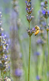 Bee on Purple Lavender Flower Royalty Free Stock Photos