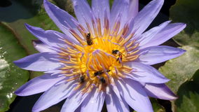 Bee on purple lotus stock video footage