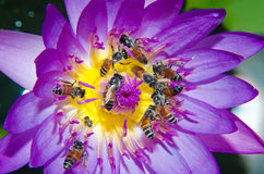Bee on Purple lotus flower blooming at summer. Stock Photo