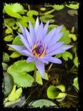 Bee on Purple lotus flower closeup. Close-up of a Bee on a purple lotus flower in water with frame Stock Photos
