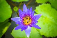 Bee On Purple Lotus Royalty Free Stock Image