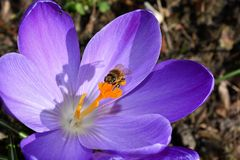 Bee on Purple Petaled Flower Stock Photography