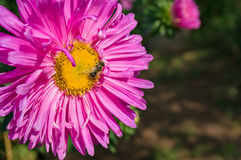 Bee on purple pink aster flower Stock Photo