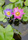 Bee on a purple and pink lotus. Royalty Free Stock Photography