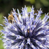 Bee on purple thistle or Echinops bannaticus Stock Photos