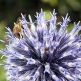 Bee on purple thistle or Echinops bannaticus. Closeup of bee on purple thistle or Echinops bannaticus Stock Photos