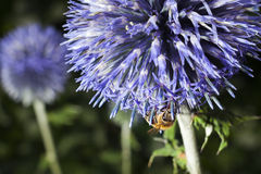 Bee on purple thistle or Echinops bannaticus. Closeup of bee on purple thistle or Echinops bannaticus Royalty Free Stock Photo