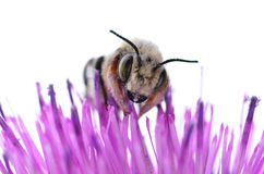 Bee on a Purple Thistle Flower. A honey bee on a thistle flower royalty free stock photos