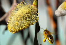 Bee and pussy-willow Royalty Free Stock Images