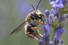 Bee puts down itself on lavender plant Stock Photos