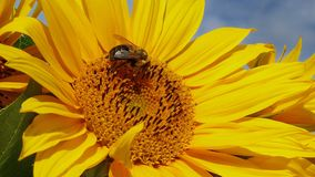 Bee in Quebec. Canada, north America. Royalty Free Stock Photography