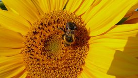Bee in Quebec. Canada, north America. Bee in Quebec. Canada north America royalty free stock photography