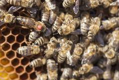 Bee queen. In bee colony Royalty Free Stock Images