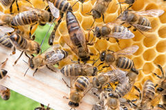 Bee queen in honeybee. Full of bees stock photo