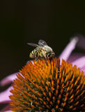 Bee on Quills of Echinacea Flower Stock Photos