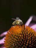 Bee on Quills of Echinacea Flower stock photos