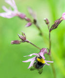 Bee and Ragged Robin Stock Photos