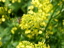 Bee on rape flower. Bee on yellow rape flower Royalty Free Stock Photography