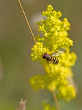 Bee on Rapeseed Stock Image