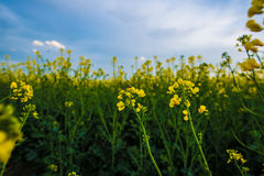 Bee on rapeseed flower, pollination under blue sky. Stock Photos