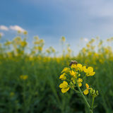 Bee on rapeseed flower, pollination under blue sky. Royalty Free Stock Photo