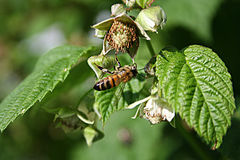 Bee. On a raspberry leaf in the garden Stock Images