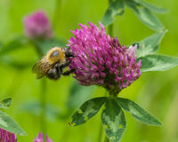 Bee at red clover flower macro Stock Photos