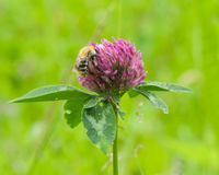Bee at red clover flower macro Royalty Free Stock Image