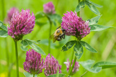 Bee at red clover flower macro Royalty Free Stock Images
