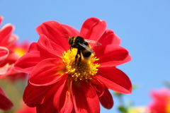 A Bee on a red Dahlia. Busy bee on a red dahlia in the garden royalty free stock photo