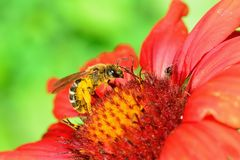 Bee on a red flower. Macro Stock Image