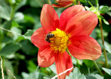 Bee on red flower Stock Images